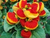 Last additions Calceolaria1.jpg