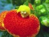 Last additions Calceolaria12.jpg