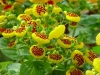 Last additions Calceolaria14.jpg
