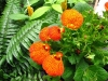Last additions Calceolaria16.JPG