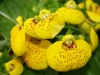 Last additions Calceolaria3.jpg