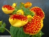 Last additions Calceolaria4.jpg