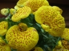 Last additions Calceolaria6.jpg