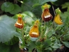 Last additions Calceolaria7.JPG