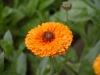 Невен - Calendula officinalis Calendula-Ginnys.jpg