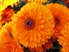 Невен - Calendula officinalis Calendula_officinalis.jpg