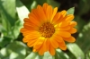 Невен - Calendula officinalis Calendula_officinalis1.jpg