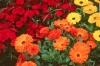 Невен - Calendula officinalis Calendula_officinalis2.jpg