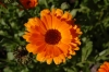 Невен - Calendula officinalis Calendula_officinalis3.jpg