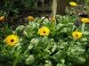 Невен - Calendula officinalis calendula-blooming.jpg