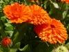 Невен - Calendula officinalis calendula_officinalis_.jpg
