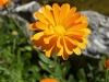 Невен - Calendula officinalis calendula_officinalis_flower.jpg