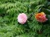 acer-camellia.jpg