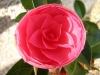 camellia_op_800x600.jpg
