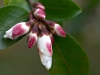 camellia_transnokoensis.jpg