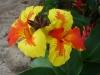 med-canna-bicolore-visoflora-2780.jpg