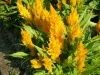 yellow-orange-celosia.jpg
