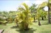 Хризалидокарпус (златноплодна палма) - Chrysalidocarpus Chrysalidocarpus1.jpg