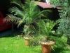 Хризалидокарпус (златноплодна палма) - Chrysalidocarpus Chrysalidocarpus2.jpg