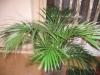 Хризалидокарпус (златноплодна палма) - Chrysalidocarpus Chrysalidocarpus4.jpg