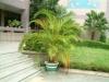 Хризалидокарпус (златноплодна палма) - Chrysalidocarpus Chrysalidocarpus5.jpg
