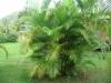Хризалидокарпус (златноплодна палма) - Chrysalidocarpus Chrysalidocarpus6.jpg