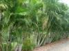 Хризалидокарпус (златноплодна палма) - Chrysalidocarpus chrysalidocarpus.jpg