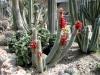 Cleistocactus-candelilla.jpg