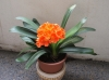 Кливия - Clivia Genova-Clivia_orange-001.jpg