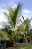 COCONUT_PALM.jpg