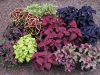 Coleus_Collection.JPG