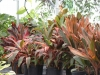 Cordyline_assorted.JPG