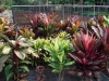 Cordyline_colour.jpg