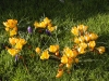 Crocus_vernus_yellow.jpg