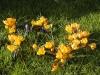 Crocus_vernus_yellow.jpg