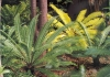 Cycas1.jpg