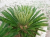 Cycas5.jpg