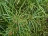 Cyperus_alternifolius.jpg