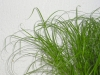 cyperus-zumula-02.jpg