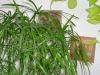 cyperus_alternifolius_11.jpg