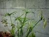 cyperus_alternifolius_B_3_00.jpg