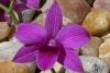 Dendrobium1.jpg