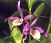 Dendrobium2.jpg