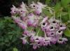 Dendrobium3.jpg