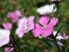 Карамфил - Dianthus Dianthus-First-Love1024.jpg