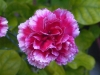 Last additions - Карамфил - Dianthus Dianthus.jpg