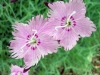 Last additions - Карамфил - Dianthus Dianthus1.jpg