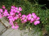 Last additions - Карамфил - Dianthus Dianthus_amurensis.JPG