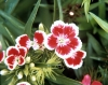 Dianthus_barbatus__Indian_Carpet_.jpg