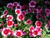 Last additions - Карамфил - Dianthus dianthus10_05.jpg